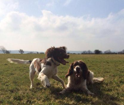 Our resident spaniels!